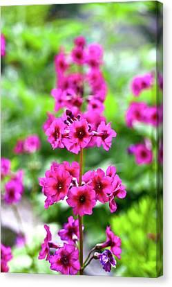 Pink Primroses Canvas Print - Japanese Primrose (primula Japonica) by Dan Sams