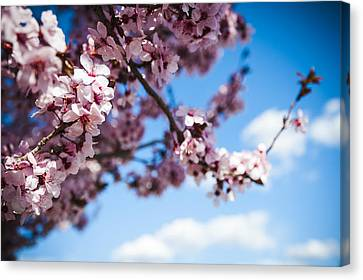 Japanese Sakura Canvas Print