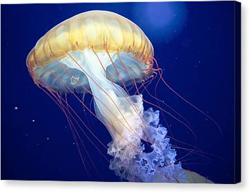 Japanese Sea Nettle Chrysaora Pacifica Canvas Print by Mary Lee Dereske