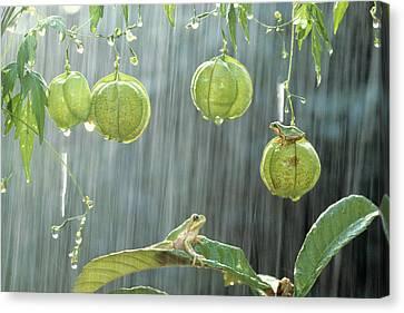 Japanese Tree Frog And Balloon Vine Canvas Print by Shinji Kusano