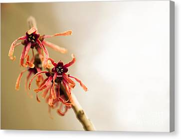 Close Focus Floral Canvas Print - Japanese Witch Hazel by Anne Gilbert