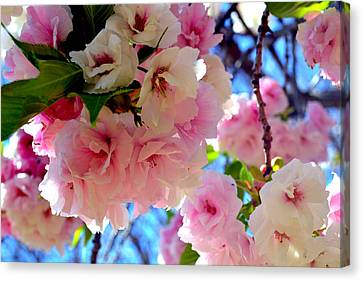 Japanese Yoshino Cherry Blossoms Extra Large Format Canvas Print by Katy Hawk