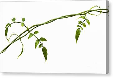 Jasmine Leaves Pattern  Canvas Print by Tim Gainey