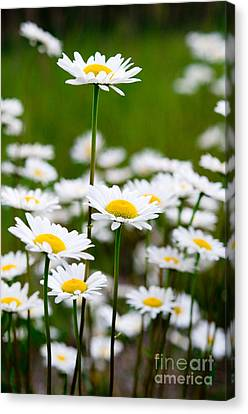 Jasper - Oxeye Daisy Wildflower 2 Canvas Print