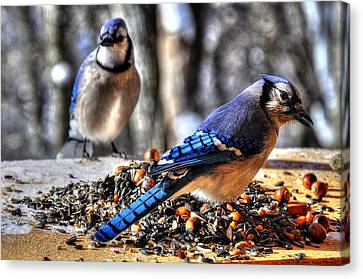 Jay Jay Canvas Print by Craig T Burgwardt