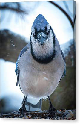 Jay Canvas Print by Phil Abrams