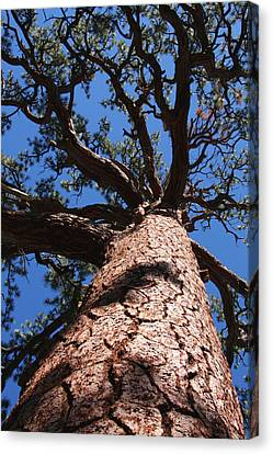 Jeffrey Pine Canvas Print by Melinda Fawver