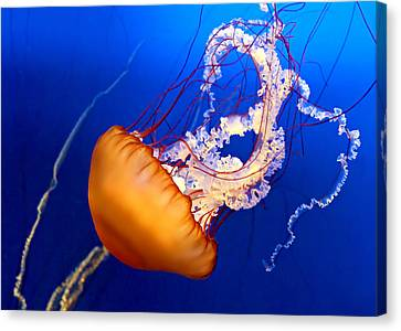 Jelly #2 Canvas Print by Nikolyn McDonald