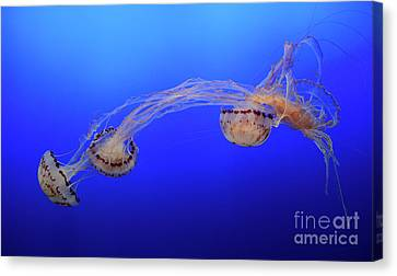 Jellyfish 7 Canvas Print by Bob Christopher