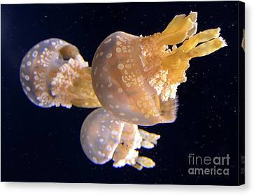 Jellyfish 8 Canvas Print by Bob Christopher