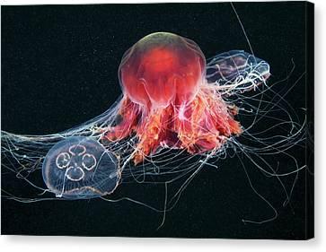 Jellyfish Feeding Canvas Print by Alexander Semenov