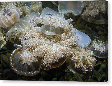 Jellyfish - National Aquarium In Baltimore Md - 121215 Canvas Print by DC Photographer
