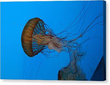 Jellyfish - National Aquarium In Baltimore Md - 121226 Canvas Print by DC Photographer