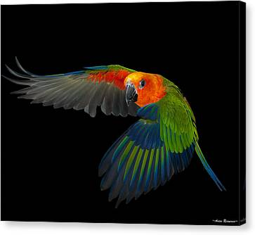Jenday In Flight Canvas Print by Avian Resources