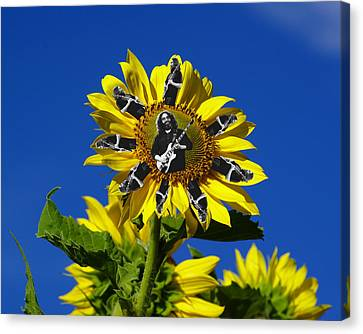 Jerry Sunflower Canvas Print by Ben Upham