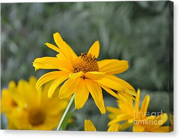 Jerusalem Artichoke Canvas Print by Imre  Toth