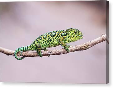 Jeweled Chameleon Canvas Print by Dr P. Marazzi