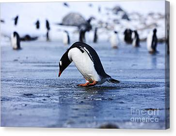 Joe Fox Fine Art - Gentoo Penguin Pygoscelis Papua Pecking At Fresh Water Ice At Neko Harbour Antarctica Canvas Print by Joe Fox