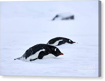 Joe Fox Fine Art - Gentoo Penguins Pygoscelis Papua Lying Down In A Blizzard At Whaler's Bay Antarctica Canvas Print by Joe Fox