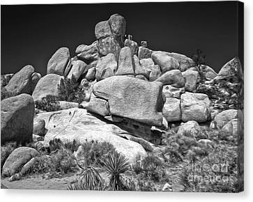 Joshua Tree - 15 Canvas Print by Gregory Dyer