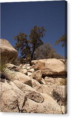 Joshua Tree Canvas Print by Amanda Barcon