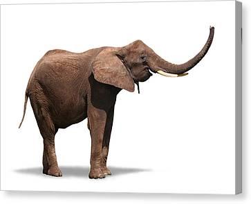 Joyful Elephant Isolated On White Canvas Print