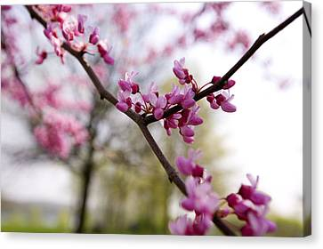 Judas Tree Blossom Canvas Print by John Holloway