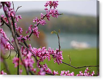 Judas Tree Canvas Print by John Holloway