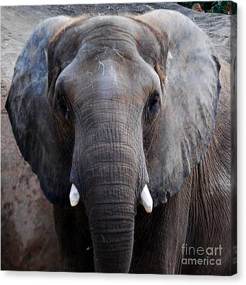 Canvas Print featuring the photograph Jumbo by Nancy Bradley