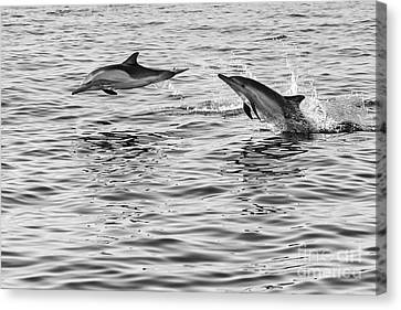 Jump For Joy - Common Dolphins Leaping. Canvas Print by Jamie Pham