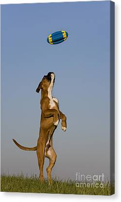 Dog At Play Canvas Print - Jumping Boxer Puppy by Jean-Louis Klein and Marie-Luce Hubert