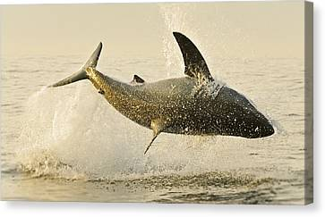 Jumping Great White No 1 Canvas Print by Andy-Kim Moeller