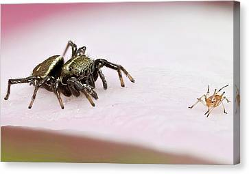 Jumping Spider And Aphid Canvas Print by Nicolas Reusens