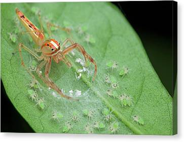 Jumping Spider And Babies Canvas Print