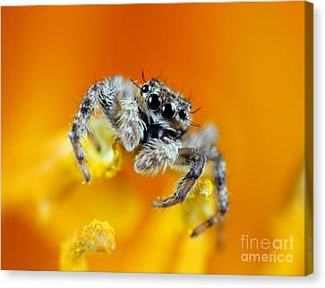Jumping Spider Canvas Print by Brandon Alms