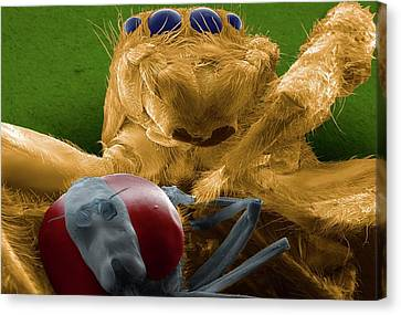 Jumping Spider Catching Prey Canvas Print by Thierry Berrod, Mona Lisa Production