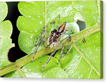 Jumping Spider Canvas Print by Dr Morley Read