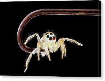 Jumping Spider On A Fish Hook Canvas Print by Us Geological Survey