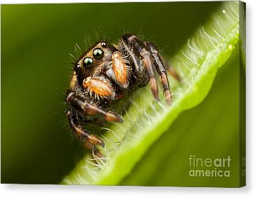Jumping Spider Phidippus Clarus I Canvas Print by Clarence Holmes