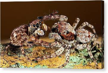 Jumping Spiders Canvas Print by Nicolas Reusens