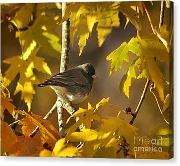 Junco In Morning Light Canvas Print by Nava Thompson
