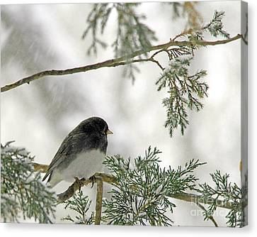 Canvas Print featuring the photograph Junco In Snowstorm by Paula Guttilla