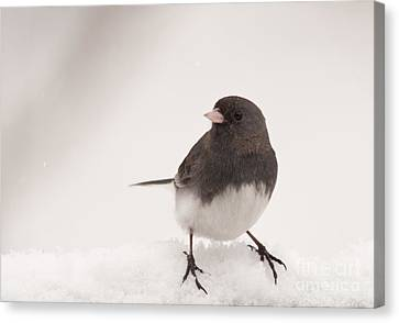 Junco In The Snow Canvas Print by Cheryl Baxter