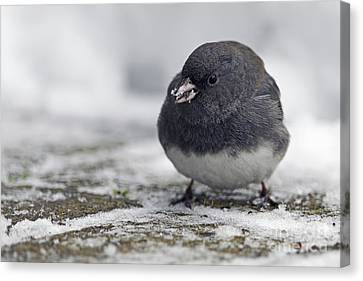 Junco In The Snow With Seeds Canvas Print by Sharon Talson