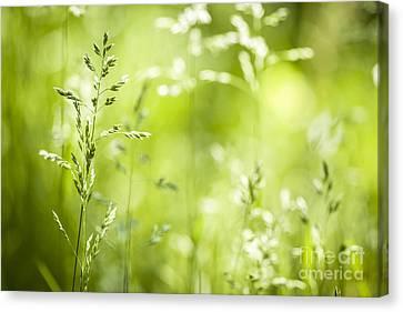 June Grass Flowering Canvas Print by Elena Elisseeva