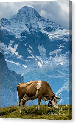 Jungfrau Cow - Grindelwald - Switzerland Canvas Print by Gary Whitton