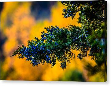 Juniper Berries Canvas Print by Randy Scherkenbach