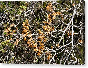 Juniper Bushes Being Killed By Fungus Canvas Print by Ashley Cooper