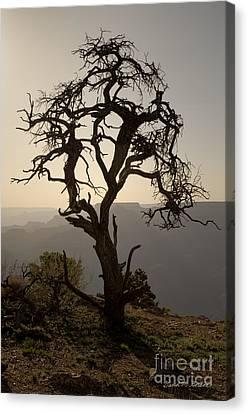 Juniper Tree At Grand Canyon Canvas Print by David Gordon