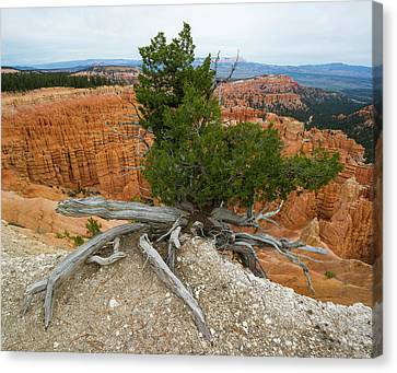Inspiration Point Canvas Print - Juniper Tree Clings To The Canyon Edge by Panoramic Images